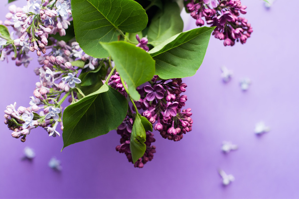 Lilacs are a hardy shrub for zone 2.